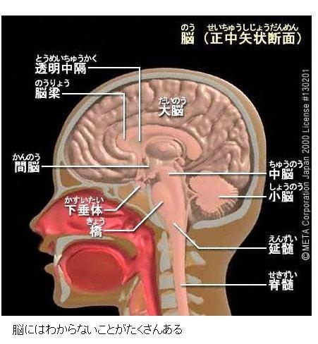 下 垂体 と は 脳