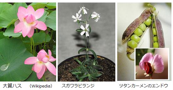 Silene stenophylla