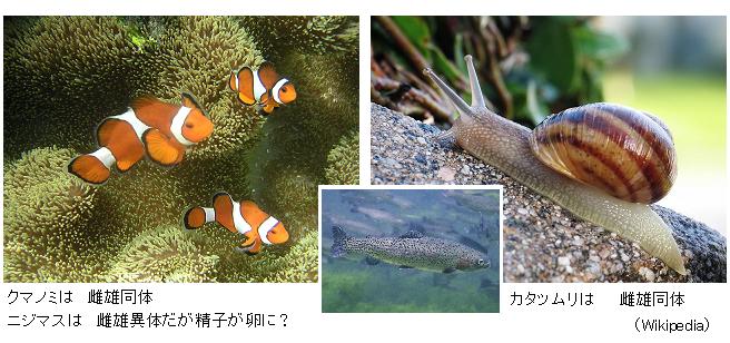 Ocellaris_clownfish