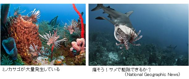 Sharks-eating-lionfish