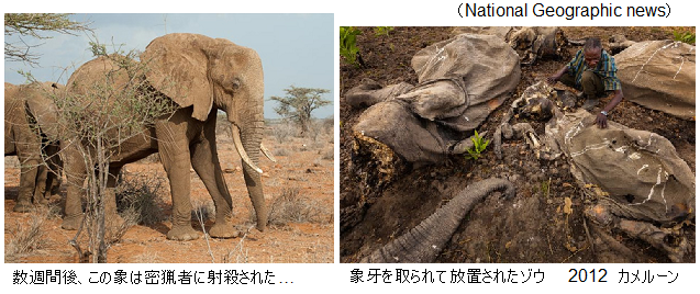 Elephant-matriarch-killed