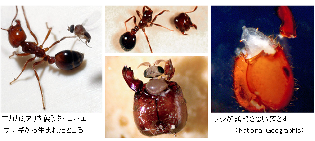 Fire-ant-parasite-attack