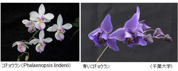 Phalaenopsis_lindenii