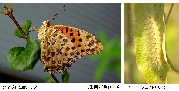 A_argynnis_butterfly