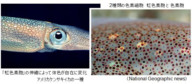 Squid-iridescence