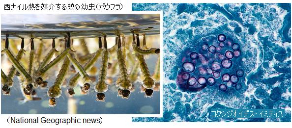 mosquito_larva