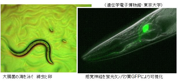 elegans