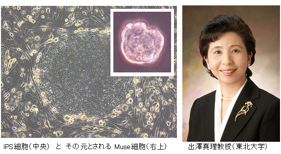 Muse_cell