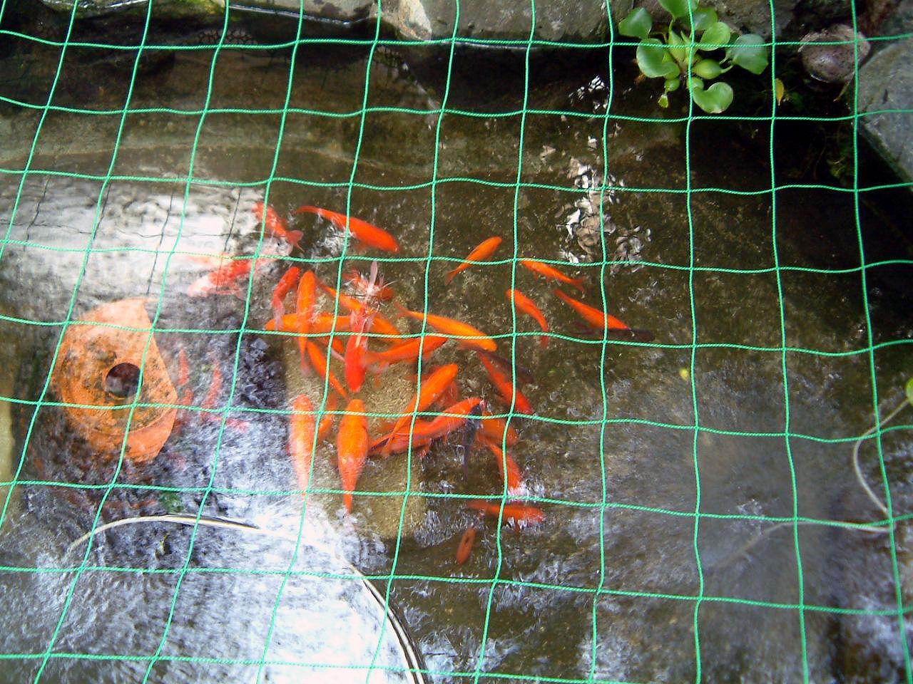 20160813夏金魚 1