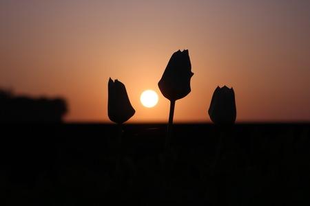 氷見市 朝日 日の出 写真  チューリップ