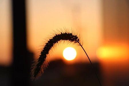 朝日 ねこじゃらし 雑草