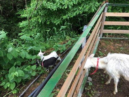 03 子ヤギの脱走 柵から逃げた (4)