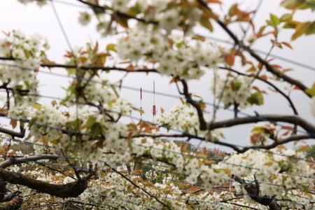 富山市 呉羽 梨畑 梨の花 (5)