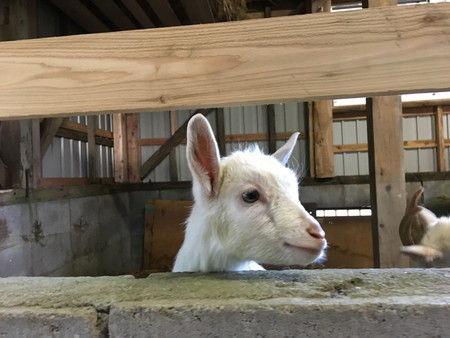04 白い子ヤギ