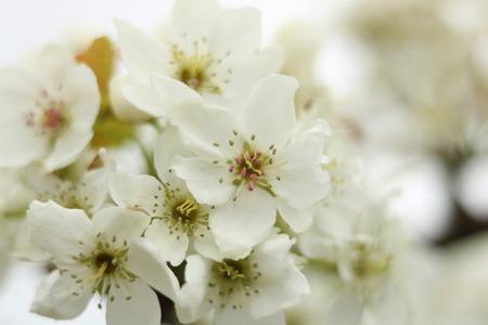 富山市 呉羽 梨畑 梨の花 (6)