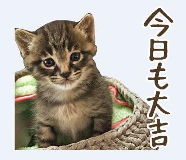 LINE スタンプ 猫のきもち 写真 ネコ 大吉