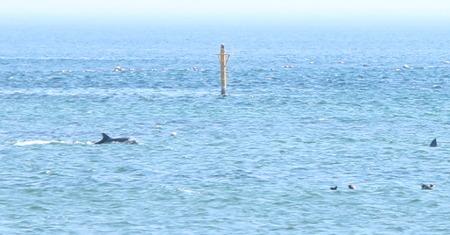 イルカ 氷見 天然 野生 野生イルカ ウォッチング