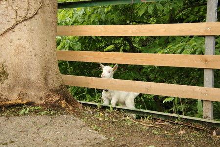 03 子ヤギの脱走 柵から逃げた (2)