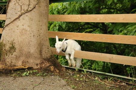 03 子ヤギの脱走 柵から逃げた (3)
