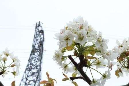 富山市 呉羽 梨畑 梨の花 (3)