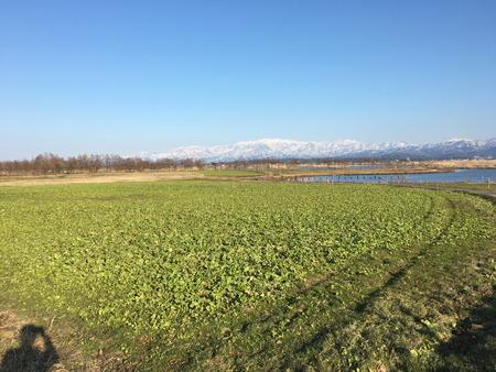 03 福島潟 菜の花 時期 季節 冬 (3)