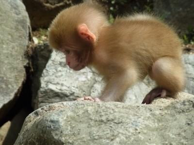 ふわふわの猿