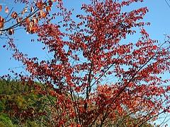 紅葉が秋空に映える