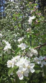 りんごの花盛り