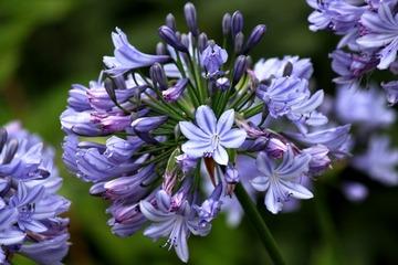 H29-9-29 紫君子蘭�