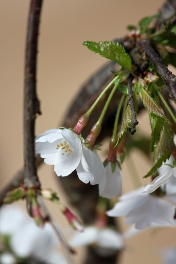 H30-4-16 しだれ桜�