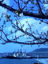 桜と関門橋