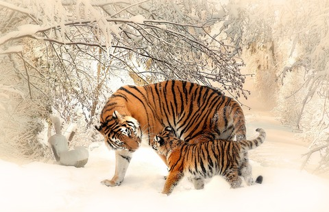 010520adult-and-cub-tiger-on-snowfield-near-bare-trees-39629