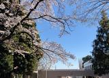 20200324_ブログ用_桜_2