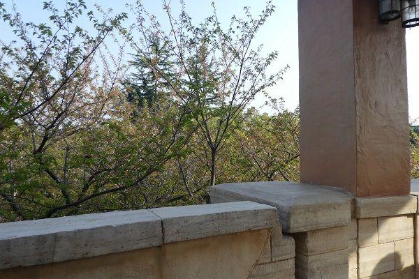 355 ミラコスタ桜