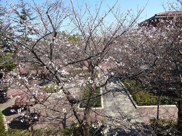 15 シー桜