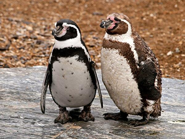 0penguin couple