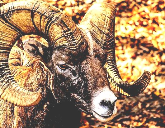 0two horns of ram