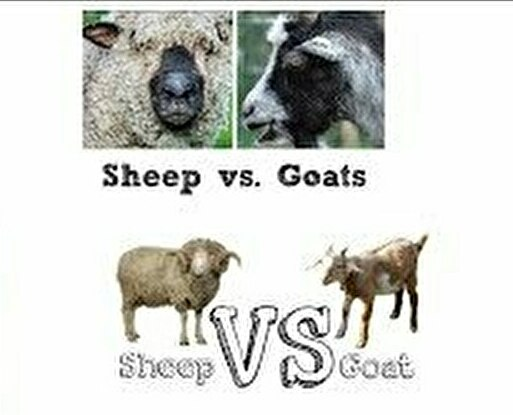 0sheep and goat3