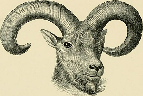 0male sheep with two horns
