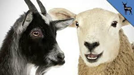 0sheep and goat1