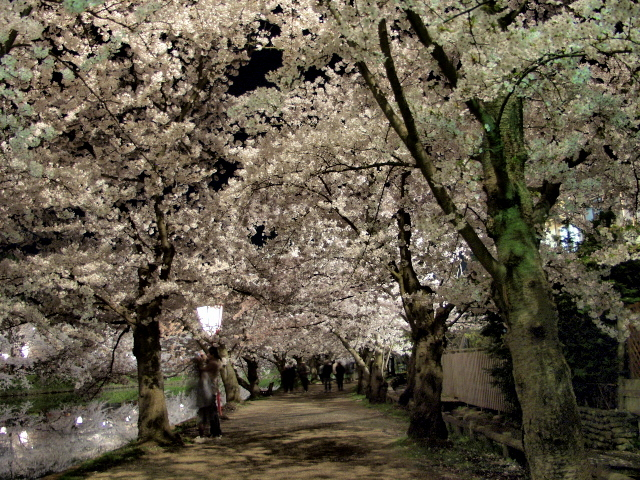 yozakura7 西堀に架かる春陽橋 春陽橋から望むライトアップされた西堀の桜  津軽@津軽徒
