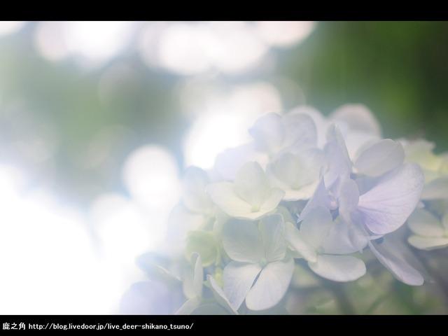 紫陽花-淡-