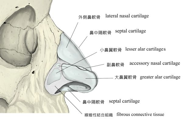 nasal-cartilage-5