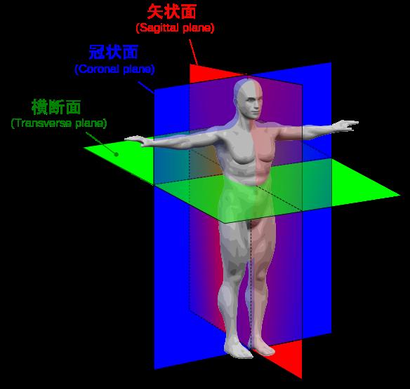 584px-Human_anatomy_planes-JA_svg