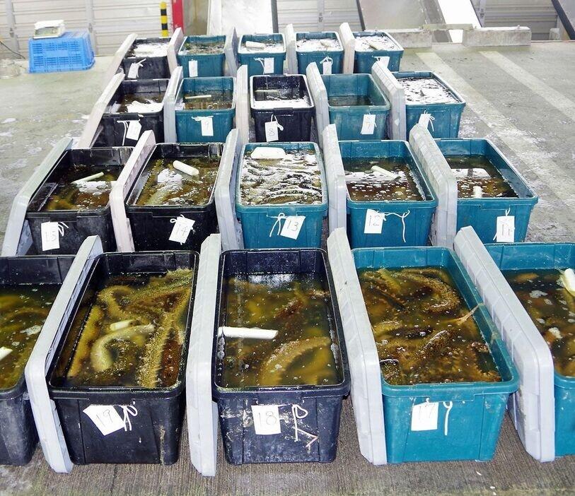 麦わら海賊団、ナマコ800kgを密漁し逮捕