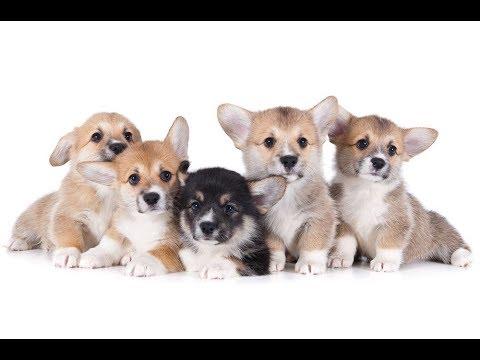 【犬猫動画】「絶対に笑う」あり得ないことをする犬★おもしろい犬のハプニング, 失敗画像集 #11  - 長さ: 3:13。