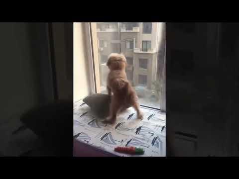 【犬猫動画】おもしろ 犬 猫 ハプニング  - 長さ: 11:16。