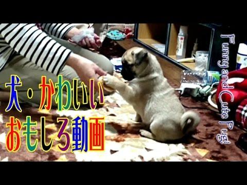【犬猫動画】赤ちゃんパグ ボールを扱う仕草が、かわいすぎる!  - 長さ: 1:30。
