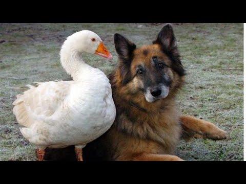 【犬猫動画】「絶対笑う」最高におもしろ犬,猫,動物のハプニング, 失敗画像集 #371  - 長さ: 10:30。