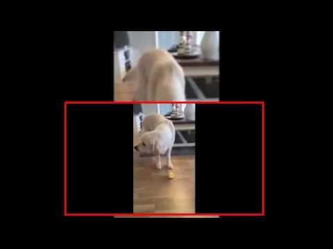 【犬猫動画】犬がレモンを目の前にすると...?  - 長さ: 0:23。